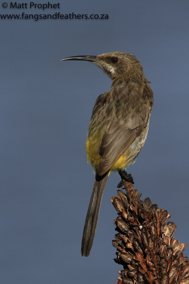 Cape Sugarbird 2